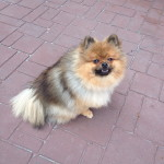 Bear - Pomeranian