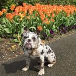 Munch - English Mini Bulldog