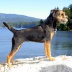 Gidget - Border Terrier