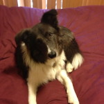 Hamish - Grey and White Border Collie